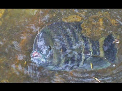 Instant video play poor man 39 s sheepshead zebra tilapia for Is tilapia a man made fish