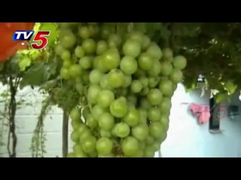 Teacher Grapes Cultivation Experiment in Nalgonda : TV5 News