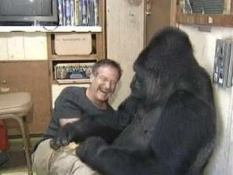 Robin Williams has a tickle fight with Koko the Gorilla