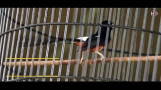 Video Suara Burung : Detik - Detik Murai Batu Misterius Menjadi Juara MP3, 3GP, MP4, WEBM, AVI, FLV Maret 2018