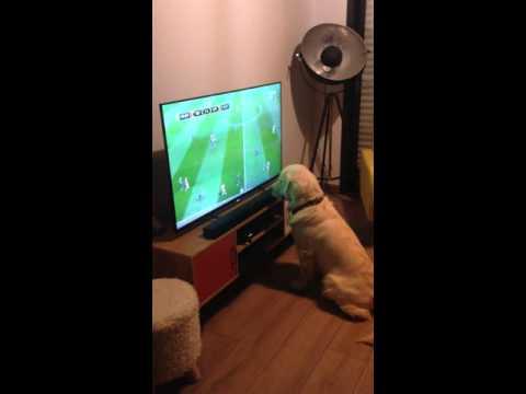 黃金獵犬看球賽癡迷成這樣!! 網笑翻:我們輸了 比主人還緊張啊XD