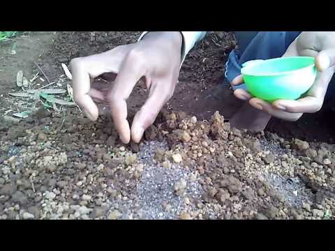 Download Video Cara Menanam Sawi
