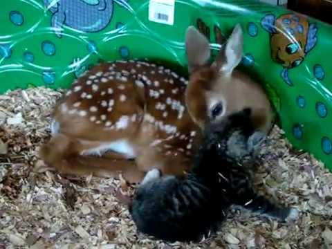 Ternura al máximo: Bebé ciervo y su amigo el gatito