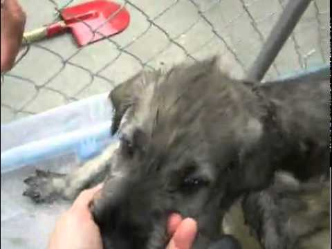 Elliot's Elixirs Irish Wolfhound Girl Puppy #3