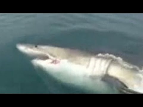 Fishermen - Fishermen off the coast of New Jersey encountered a 16-foot great white shark that swam up to their boat. For more CNN videos, visit our site at http://www.c...
