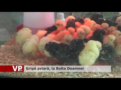 Gripă aviară, la Balta Doamnei