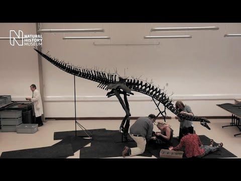 Assembling the <i>Stegosaurus</i> skeleton