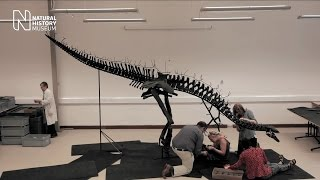 Assembling the <i>Stegosaurus</i> skeleton