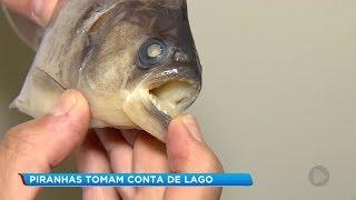 Piranhas tiram sossego de pescadores em lago de Araçoiaba da Serra