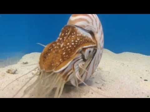Chambered Nautilus Eating Krill