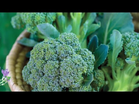 "Burpee Gardens<br />\n<br />\n<strong>Published on Mar 18, 2016</strong>\n\n<p id=""eow-description"">The flavor of garden-fresh broccoli is beyond compare to anything you find in the supermarket. This cool-season favorite is best grown in spring and fall.</p>"