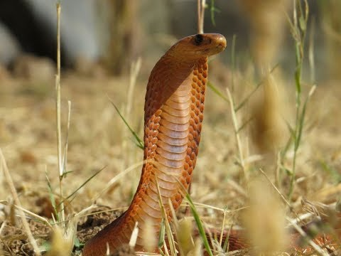 WATCH: Daredevil Omani photographer shoots video of elusive Arabian Cobra