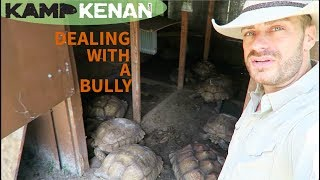 How To Deal with Aggressive Sulcata Tortoises