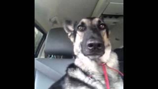 Owczarek usłyszał w radiu znany utwór. Jego pan nie spodziewał się po nim takiej reakcji!