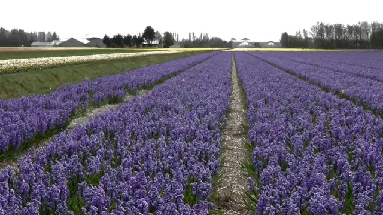 Bollenvelden bij Noordwijkerhout