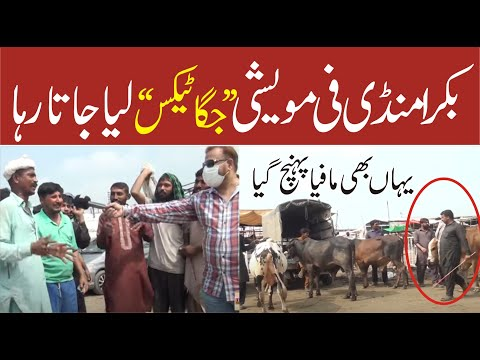 بکرامنڈی'فی مویشی جگاٹیکس لیاجاتارہا