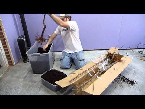Unboxing My Bare Root Peach & Apricot Fruit Trees