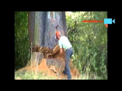 Kácení velmi velkého stromu