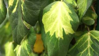 #724 Chelsea Flower Show 2012 - Hedera colchica Sulphur Heart