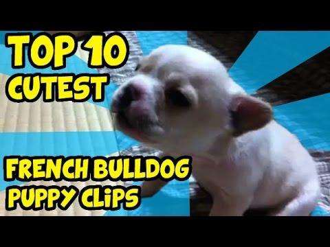 top 10 teneri bulldog francesi!