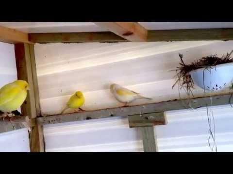 Canary - via YouTube Capture.