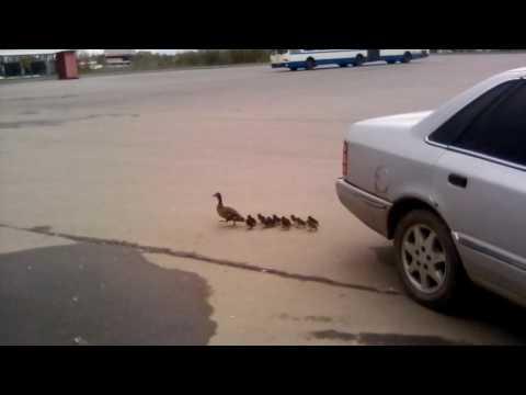 Необычная семья: на парковке у «Магнита» замечена утка с утятами