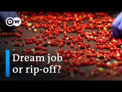 Thai berry pickers in Sweden | DW Documentary