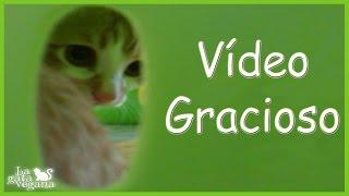 Hola bichejos, hoy os traigo un vídeo gracioso que le grabé a Limón, un gatito que tuve de acogida y que ya fue adoptado. Espero que os resulte gracioso y paséis un rato agradable.Si quieres saber quien era Limón: https://goo.gl/risQsuVídeos sobre gatos: https://goo.gl/RZiSbQSuscríbete: https://goo.gl/thLKcBEs posible que tus dudas ya las haya respondido antes en algún vídeo. Te recomiendo que compruebes si es así para que obtengas respuesta lo antes posible. Mis redes sociales:Twiter------ https://twitter.com/lagataveganaFacebook----- https://www.facebook.com/lagataveganayt Instagram -------- https://www.instagram.com/lagataveganaytEmail -------- lagatavegana@gmail.com (no contesto dudas)Google +  ------- https://plus.google.com/+LaGataVegana Si quieres ayudarme en los gastos veterinarios de los animales que recojo de la calle : PayPal : lagatavegana@gmail.com Patreon: https://goo.gl/scpR7X¡Gracias!  ;)Música de la librería de YouTube:Electrodoodle de Kevin MacLeod está sujeta a una licencia de Creative Commons Attribution (https://creativecommons.org/licenses/by/4.0/)Fuente: http://incompetech.com/music/royalty-free/index.html?isrc=USUAN1200079Artista: http://incompetech.com/