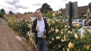 #129 Eine Hecke mit Englischen Rosen
