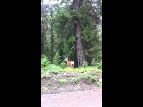 Mule deer escapes chihuahua encounter!!