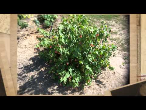 how to transplant abutilon