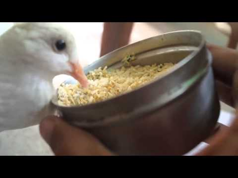 How to Feed Sick Dove