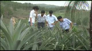 Hiệu quả từ mô hình trồng Dứa xen canh cây lâm nghiệp
