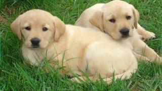 Cute Puppies (Labrador Retriever, German Shephard , Husky)