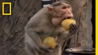 Monkey Thieves Raid People's Homes