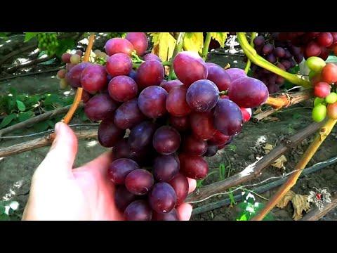 Виноград Фаэтон. Гибридная Форма Пысанки О. М.  Виноград 2017.