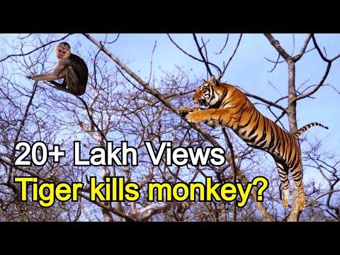 Video क्या हुआ जब बाघ बंदर को मारने पेड़ पर चढ़ा What happened when Tiger climbed on tree to kill monkey download in MP3, 3GP, MP4, WEBM, AVI, FLV January 2017