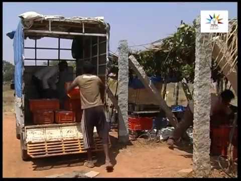 Seedless grape Cultivation in Subtropics Kannada Part 2