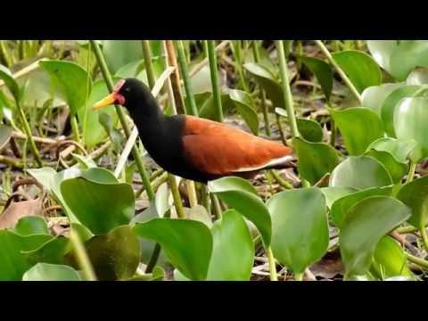 Jaçanã, Aves de regiões alagadas, Pássaros em busca de alimento, Jacana jacana,