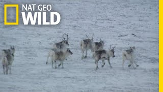 Drone Video Captures Caribou From the Air | Nat Geo Wild by Nat Geo WILD