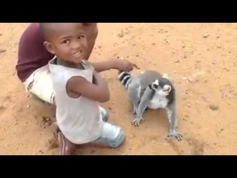 Funny || Lemur wants his back scratched and is not taking no (Humor)