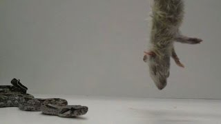 How a boa constrictor squeezes its prey to death