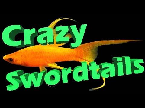 EASY Aquarium Fish, Livebearers Show Tour. Swordtails, Mollies,