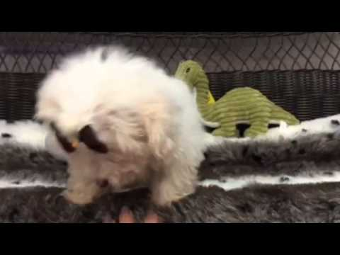 CURLY COATED, SWEETHEART MALTIPOO PUPPY
