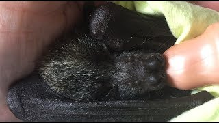 Sassafras is a very relaxed orphan baby Grey-Headed Flying-Fox who has a go slow policy at the end of every bottle, so she can extend her time being cuddled and loved by her human mum.  She slowly sinks into what we call a milk coma, where, with a fat full belly she totally relaxes, goes limp and heavy, and falls asleep.Sass was release 4 months after this video was taken. She went through a creche system (batty kindergerten) where she was buddied up with a lot of other orphans and learned how to be bats again from the other orphans.  This seems to work well and the babies are released as happy healthy little batty people who prefer batty company to humans.Fly free sweetheart - go out and make babies and plant trees.