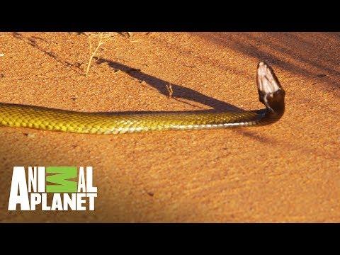 Taipan, la cobra más venenosa de mundo Wild Frank: Tras la evolución de las especies Animal Planet