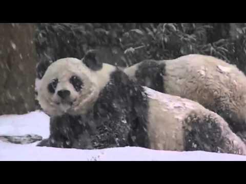 ПАНДА первый раз увидела снег Панда Фирст Снов Даи