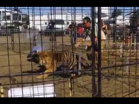 Tiger Attacks, Drags Trainer [GRAPHIC VIDEO]