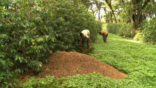 In Birthplace Of Coffee, Ethiopian Farmers Plant Other Crops
