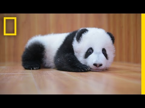 Raising Cute Pandas: It's Complicated | National Geographic (видео)